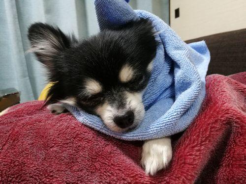 可愛いチワワの寝顔