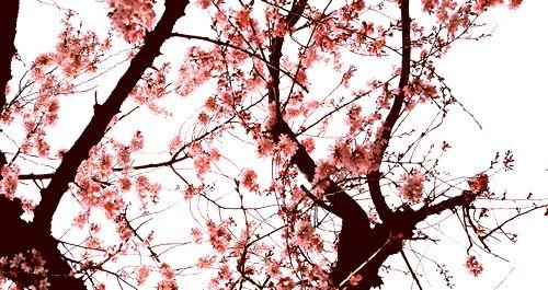 曇りの日 桜