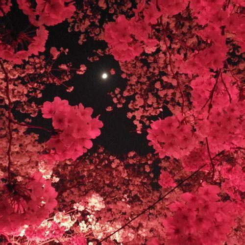夜桜 ピンク