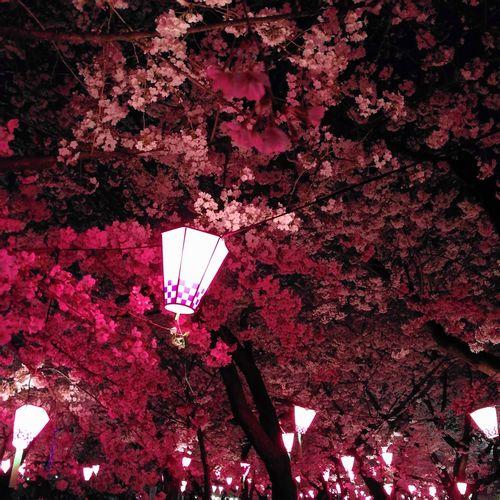 夜桜 満開