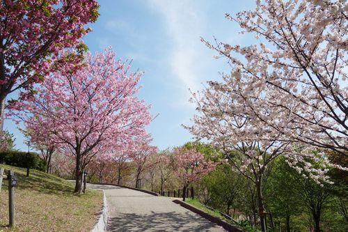 桜の回廊フェスティバル2017